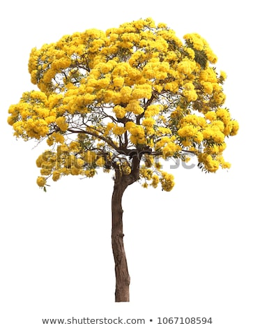 large tree yellow leaves in the forest stock photo © yongkiet