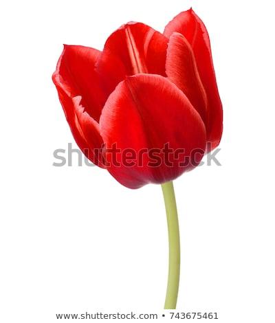 Branco tulipas vermelho um tulipa luz do sol Foto stock © kimmit