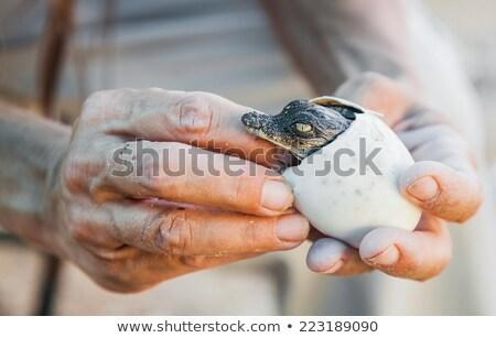 American crocodil afara ou mâini Imagine de stoc © OleksandrO