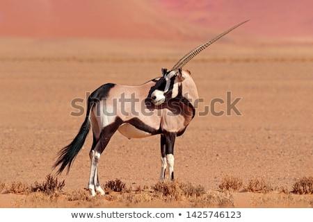 afrikai · gazella · Afrika · délnyugat · konzerv · elér - stock fotó © romitasromala
