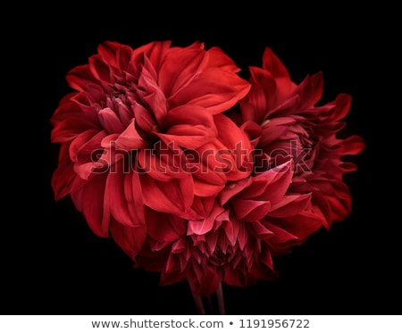 red flower on a black background stock photo © ozaiachin