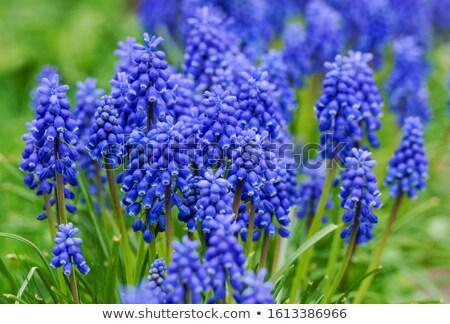 Sümbül güzel parlak renkler çiçek Stok fotoğraf © bendzhik