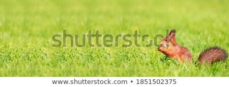 Mókus áll fű egy láb felfelé Stock fotó © jaffarali
