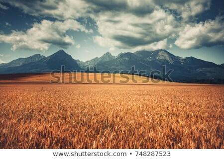 Retro voll Weizenfeld selektiven Fokus seicht Landschaft Stock foto © stevanovicigor