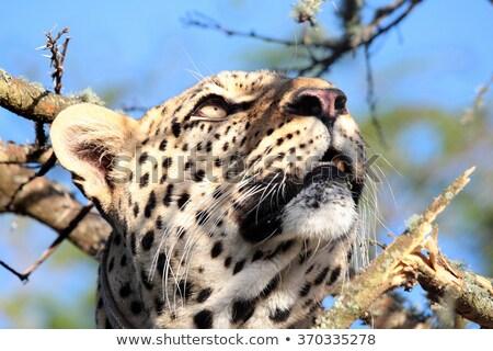Leopardo árvore olhando parque África do Sul Foto stock © simoneeman
