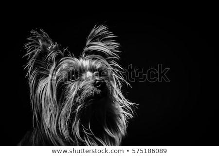 Yorkshire · terrier · portré · sötét · stúdió · boldog - stock fotó © vauvau