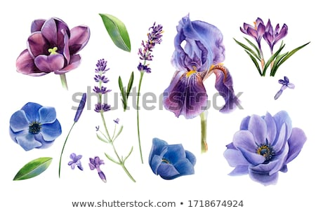 Beautiful purple tulip Stock photo © Kidza