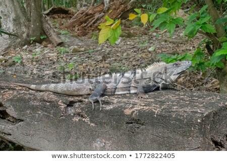 Siyah iguana ağaçlar Kostarika orman orman Stok fotoğraf © Ionia