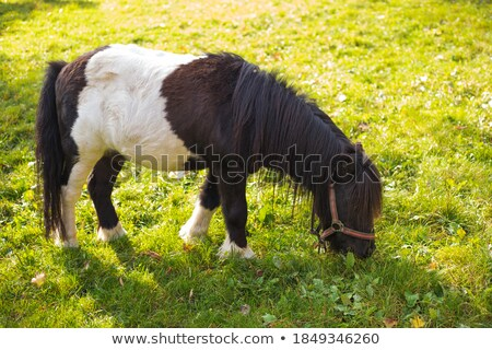 молодые миниатюрный лошади красоту цвета Европа Сток-фото © IS2