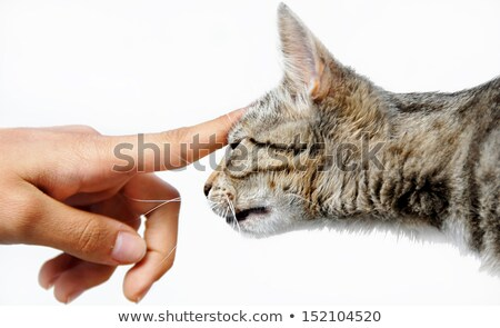 Young mixed-bread cat human hand stock photo © simply