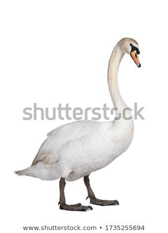Retrato belo silenciar cisne água primavera Foto stock © taviphoto