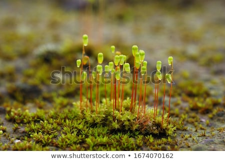 moss spores closeup Stock photo © prill