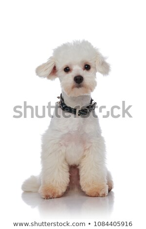 adorable seated bichon with spiked black collar Stock photo © feedough