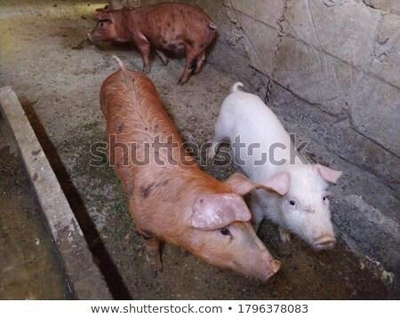 голодный · современных · пер · фермы · животного · сельского · хозяйства - Сток-фото © bobkeenan