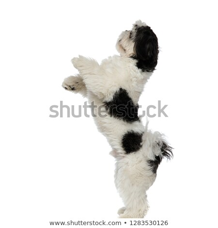 side view of playful shih tzu standing on two legs Stock photo © feedough