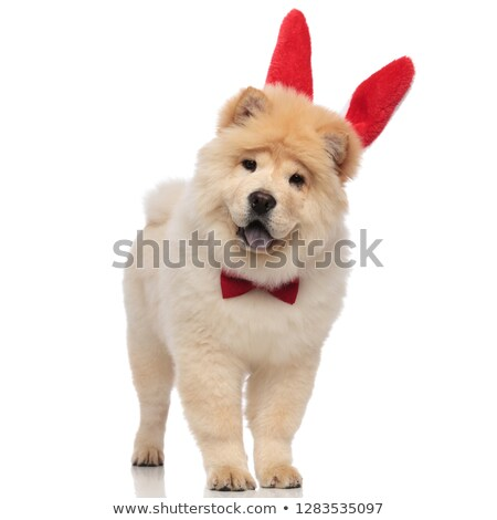 excited chow chow wearing red bowtie and rabbit ears Stock photo © feedough