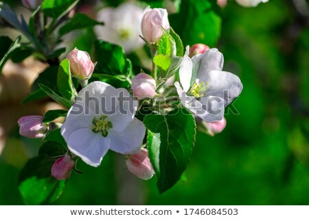Bright white blossom and verdant foliage of a malus Stock photo © sarahdoow