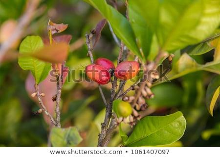 Primo piano tre miracolo frutti di bosco impianto Berry Foto d'archivio © galitskaya