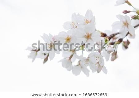 Apricot blossom on white Stock photo © AGfoto