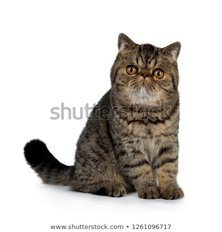 Adorable black tabby Exotic Shorthair cat kitten Stock photo © CatchyImages