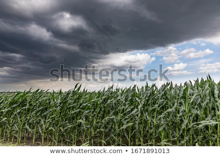 cornfield in front of clouds Stock photo © pterwort