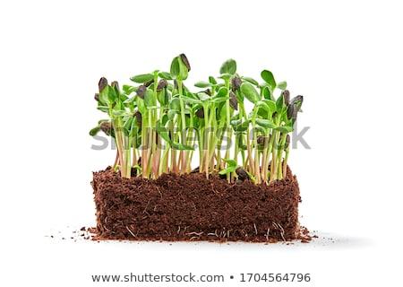 Groene spruit leven witte vuil studio Stockfoto © leeser