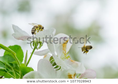 bee on white flower Stock photo © goce