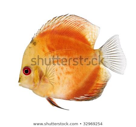ディスカス · 魚 · カラフル · ショット · 青 - ストックフォト © macropixel