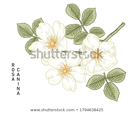 Branch of dog rose with flowers Stock photo © boroda