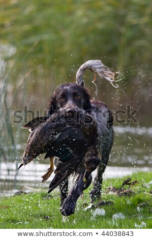 Stock photo: trained Retriever  dog with bird