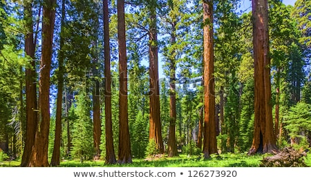 the famous big sequoia trees are standing in Sequoia National Pa Stock photo © meinzahn