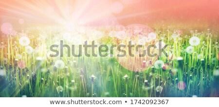 Полевые цветы весна горизонте сельский пушистый Сток-фото © cboswell