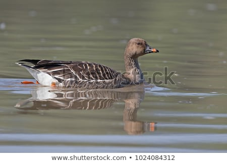 Bean goose Stock photo © digoarpi