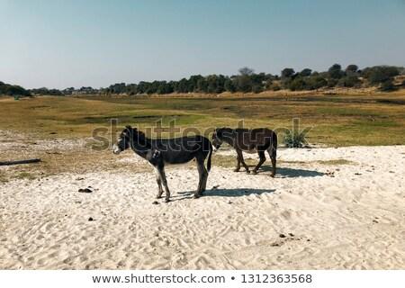 donkeys at Makgadikgadi Pan Stock photo © prill