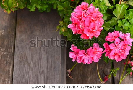 Pink geranium stock photo © GeniusKp