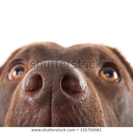 Dog nose, labrador retriever Stock photo © stevanovicigor