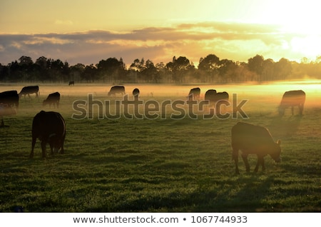 cows in the morning Stock photo © clearviewstock