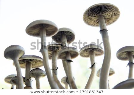 funghi · illustrazione · foresta · arte · droga · impianto - foto d'archivio © bluering