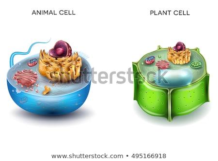 növény · sejt · anatómia · illusztráció · mutat · grafikus - stock fotó © bluering