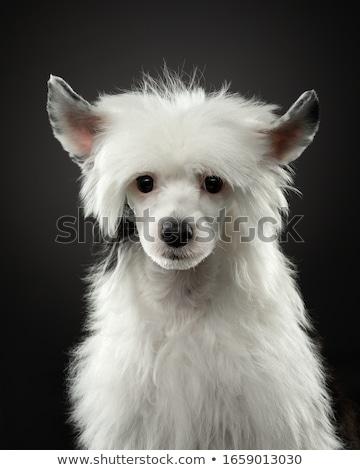 Nice brown dog portrait in the dark studio Stock photo © vauvau