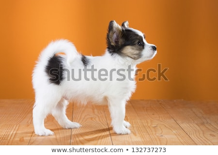 Stock photo: Cute papillon standing in a white background