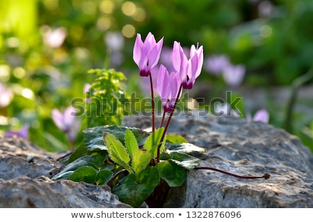 purple cyclamen flowers in the spring sun Stock photo © Klinker