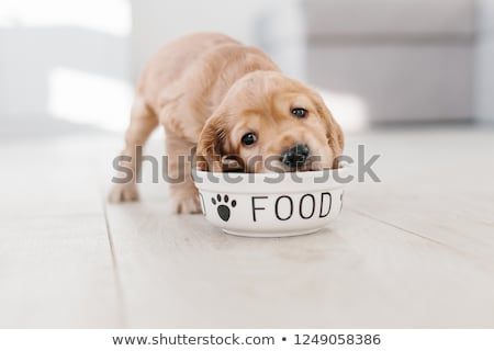cute cocker spaniel eating dog food from a bowl stock photo © ozgur