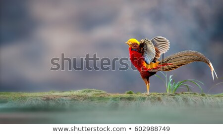 Golden Pheasant Stock photo © craig