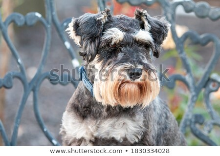 An adorable miniature schnauzer sitting and barking Stock photo © vauvau