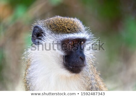 Vervet monkey in Lake Chamo, Ethiopia Stock photo © artush