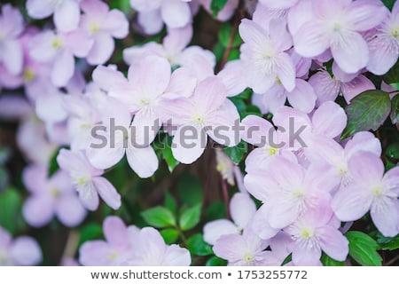 közelkép · fotó · tavasz · természet · szépség · növény - stock fotó © jsnover