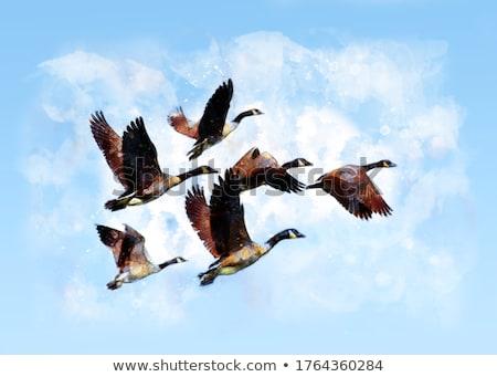 Fly away geese stock photo © photoblueice