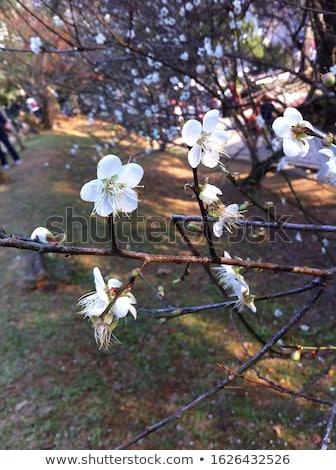 sárgabarack · fa · gyümölcsök · növekvő · kert · természet - stock fotó © lianem