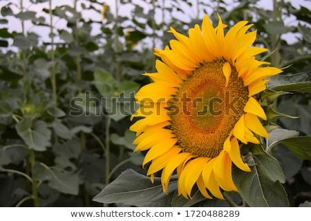 Large Sunflower Stock photo © Gordo25
